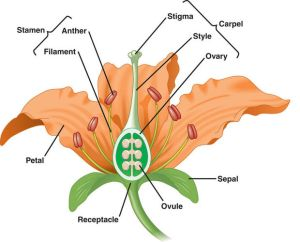 stamen carpel sexual reproduction in plants