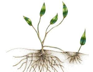 vegetative propagation in plants