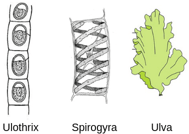 Thallophyta-Ulothrix,-spirogyra,-ulva