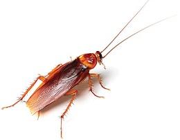 cockroach Arthropoda