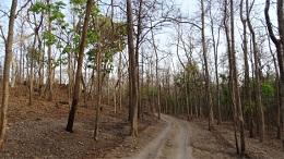 sal tree endemic species