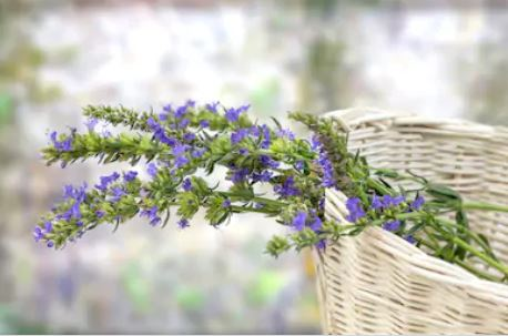 This image has an empty alt attribute; its file name is hyssop.jpg