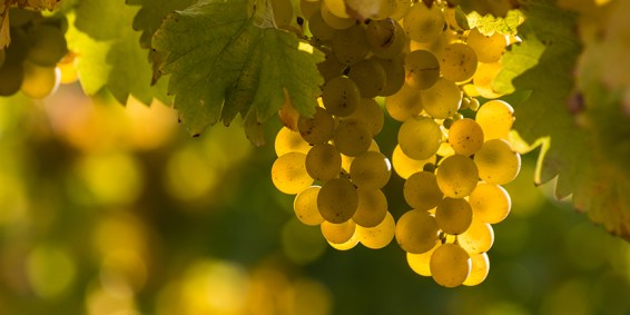 The Many Faces of Riesling - WineCoolerDirect.com
