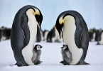 VOA Learning English - Emperor Penguins Survive in World's Most Extreme Climate