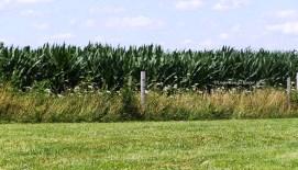 Green Cornfield-L2H