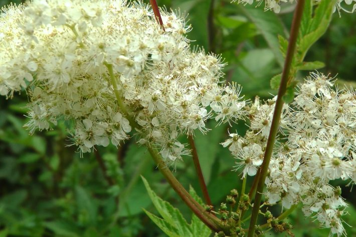 Home Remedy for Pain: Meadowsweet
