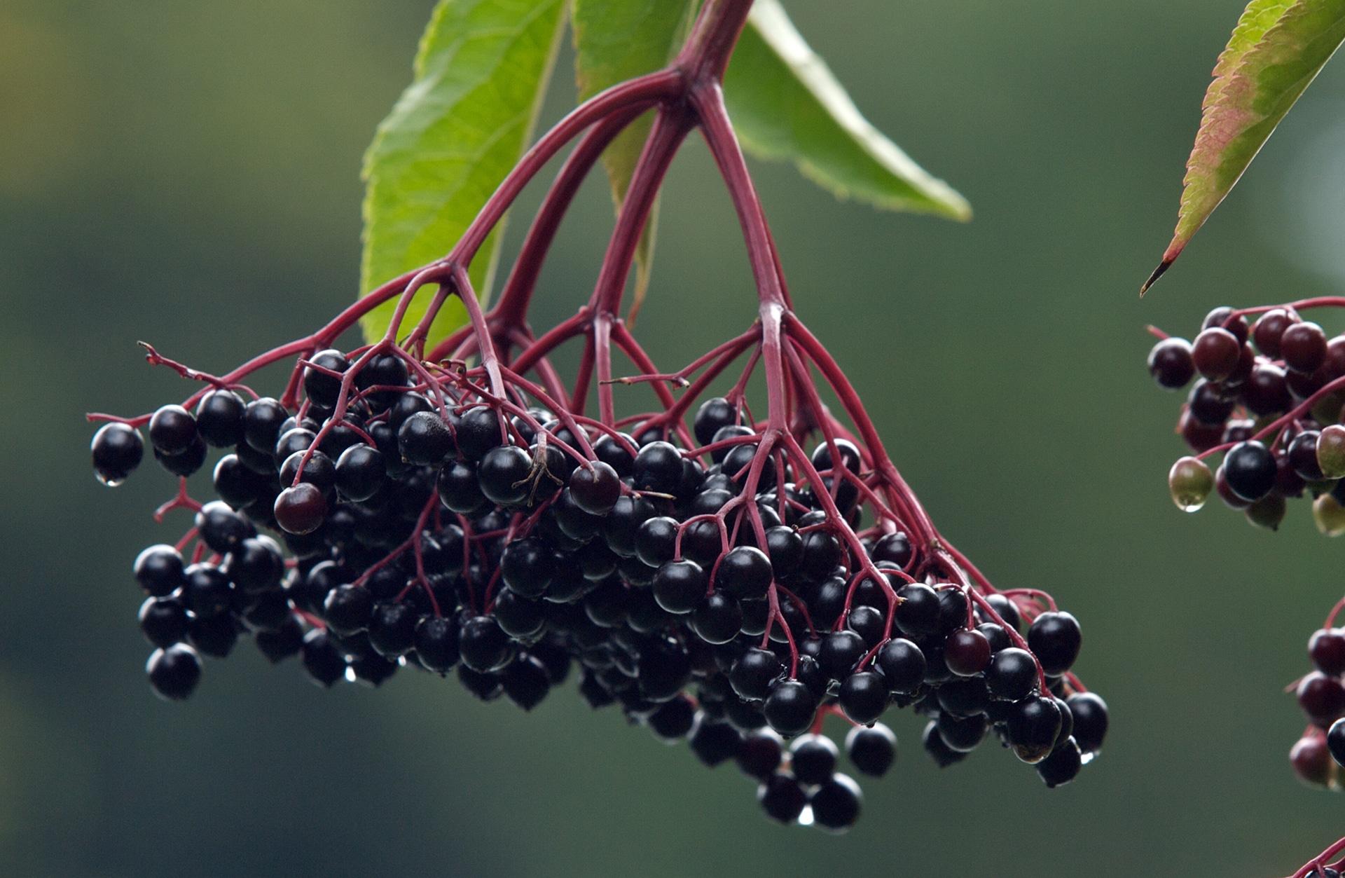 elderberry de la varicose