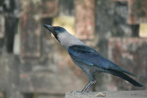 Mark Twain Indian Crow Following the Equator
