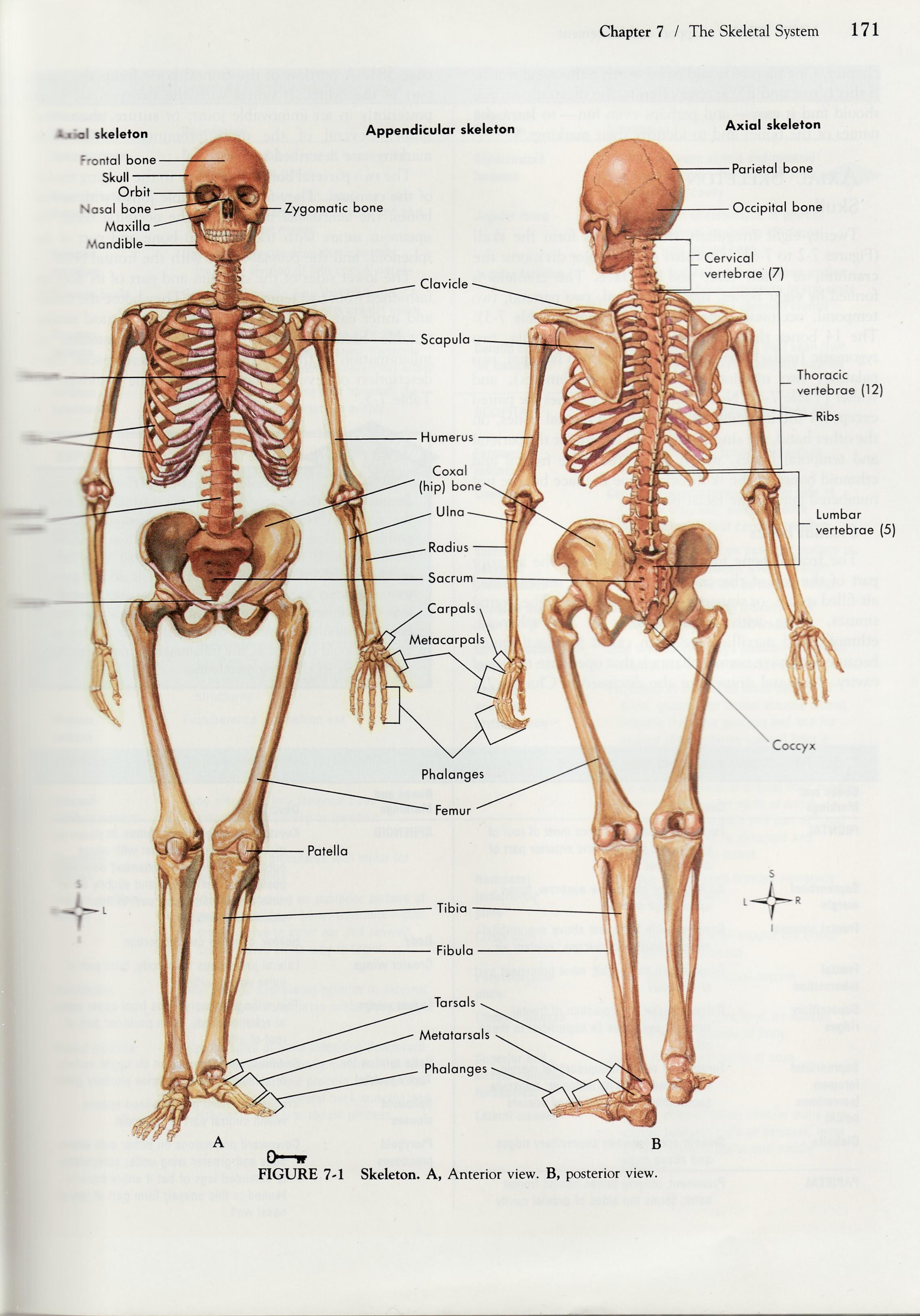 Anatomical Drawing