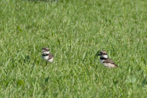 Nature Study: killdeer chicks | Learning Mama