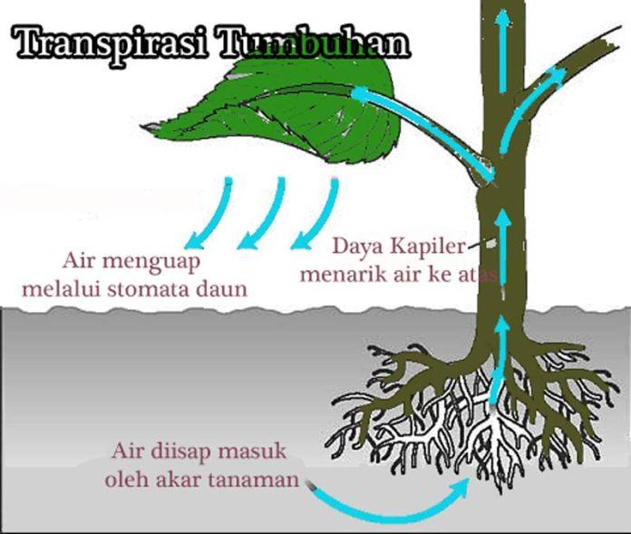 Pengertian transpirasi tumbuhan dan fungsi transpirasi tumbuhan