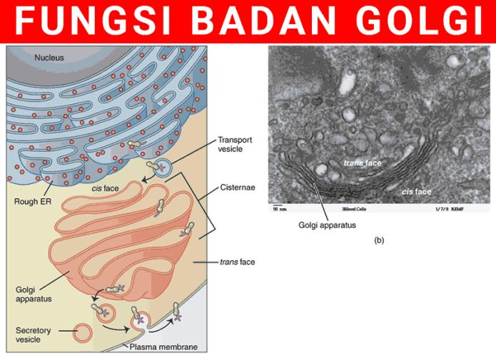 Penjelasan Lengkap Fungsi Badan Golgi dan Strukturnya