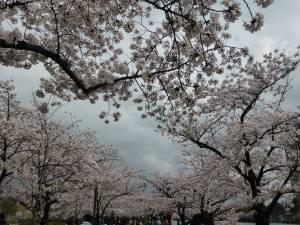 Sakura 2016 Osaka -Cherry blossom 5