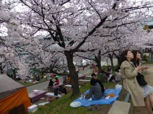 Sakura 2016 Osaka -Cherry blossom 10