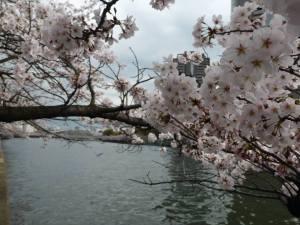 Sakura 2016 Osaka -Cherry blossom 2