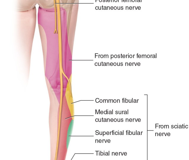 Sciatic Nerve Sensory Innervation In The Lower Extremity Manual Therapy For The Low Back And