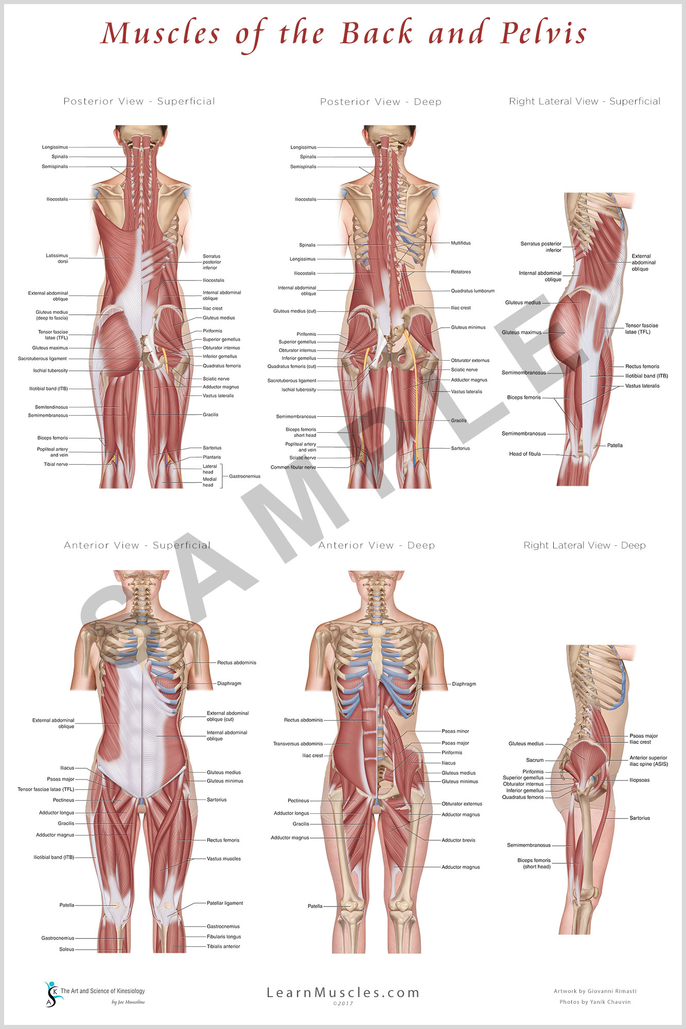 Muscles Of The Back And Pelvis 24 X 36 Premium Poster