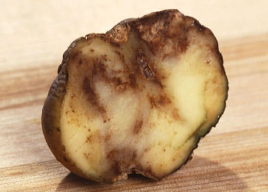 A potato affected by Phytophthora infestans