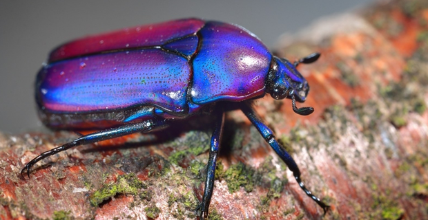 Egyptian-scarab-beetle