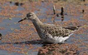 Ruff, one of our migratory waders