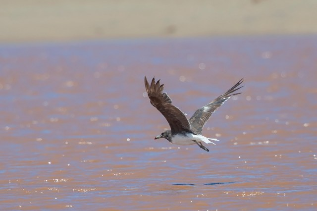 Sooty Gull at Kei Mouth - Niall Perrins