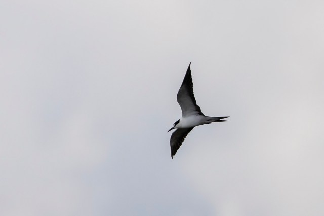 Sooty Tern at Finfoot Lake Reserve - Niall Perrins