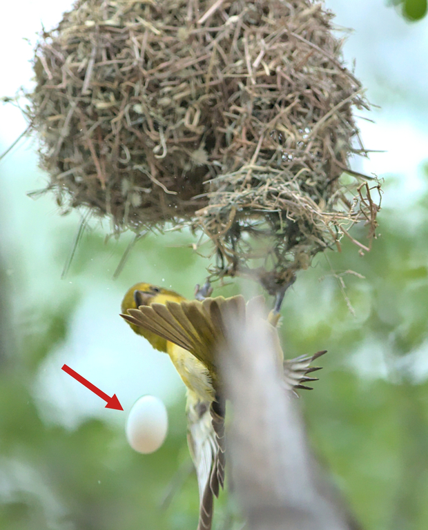 As the female diederik left the nest, she dropped the egg that we can assume belonged to the lesser masked weaver.