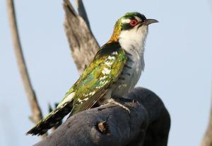 Diederik cuckoo, male