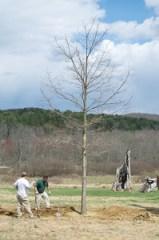 New Meadow Oak Planting