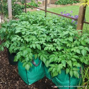 Growing Potatoes in sacks
