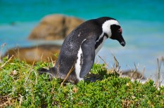 Boulders Penguin Colony, Cape Town, South Africa (2014)