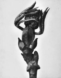 karl blossfeldt - sambucus - le bastart