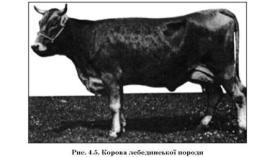 Лебединська порода великої рогатої худоби