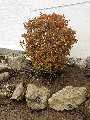 Buchsbaum - gepflanzt von der Heldin