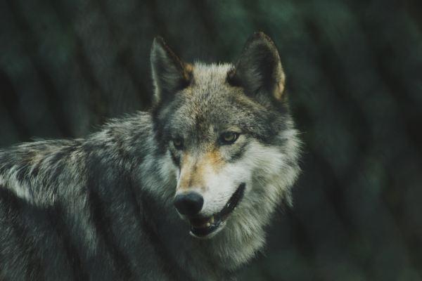 Die zwei Wölfe Parabel