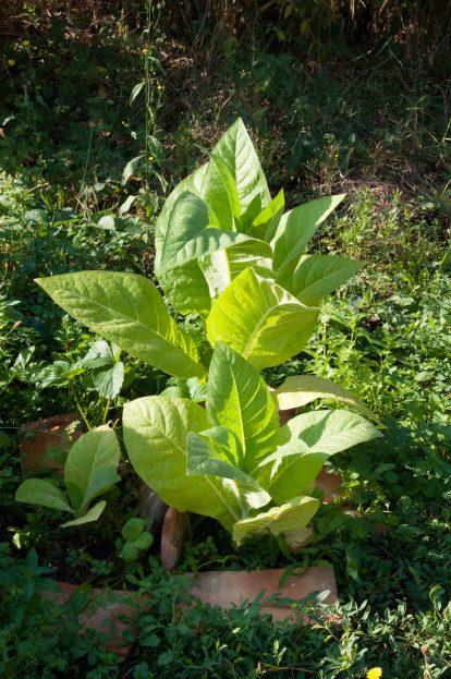 Im eigenen Garten angebauter Tabak - aber nikotinfrei. Daraus lassen sich wunderbare Mischungen zur Rauchentwöhnung herstellen