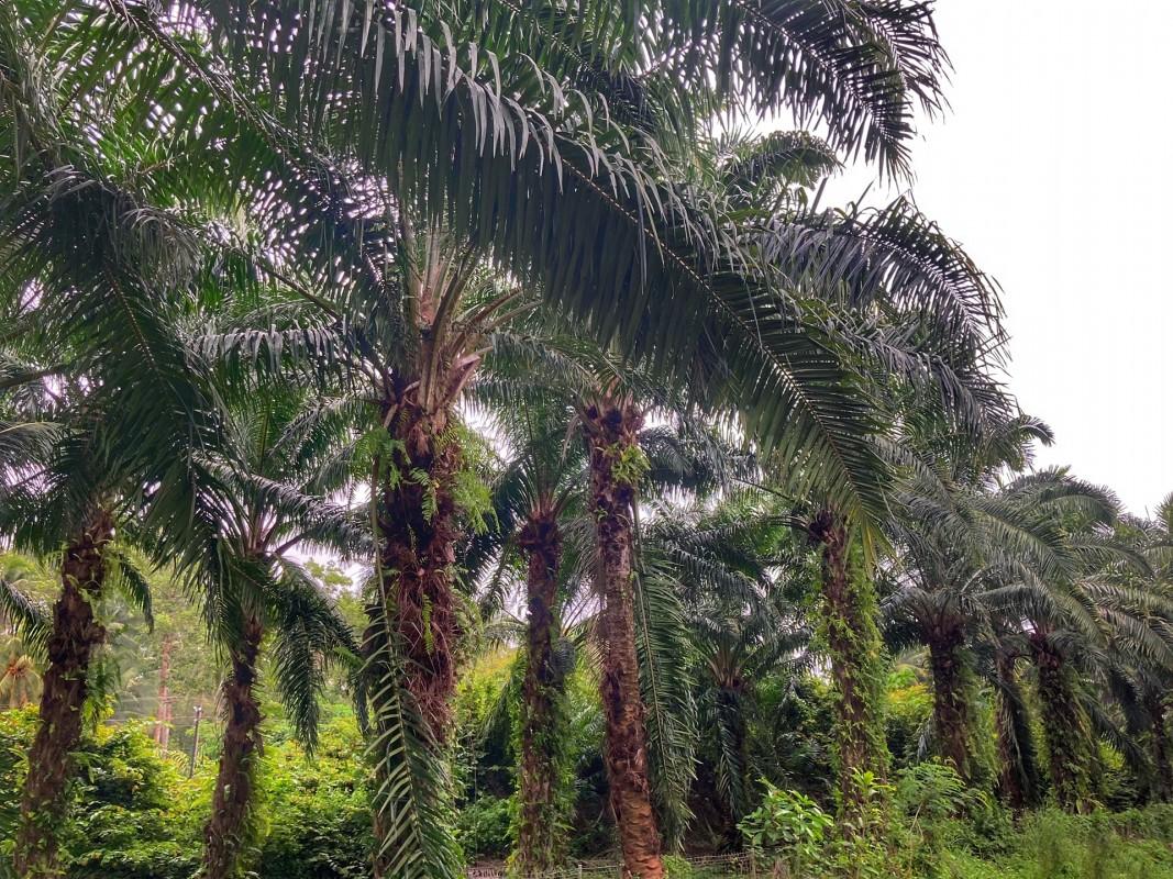 Palmöl Plantage Chumphon Thailand 1
