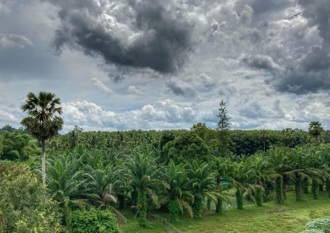 Palm Plantage Chumphon Thailand 5