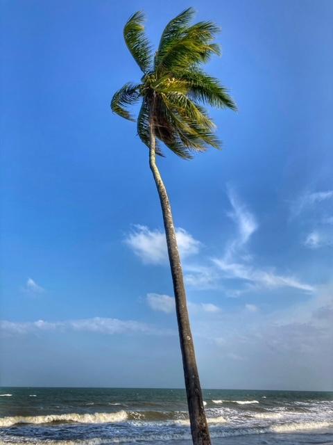 Kokospalme Sehnsuchtsbaum Chumphon Thailand