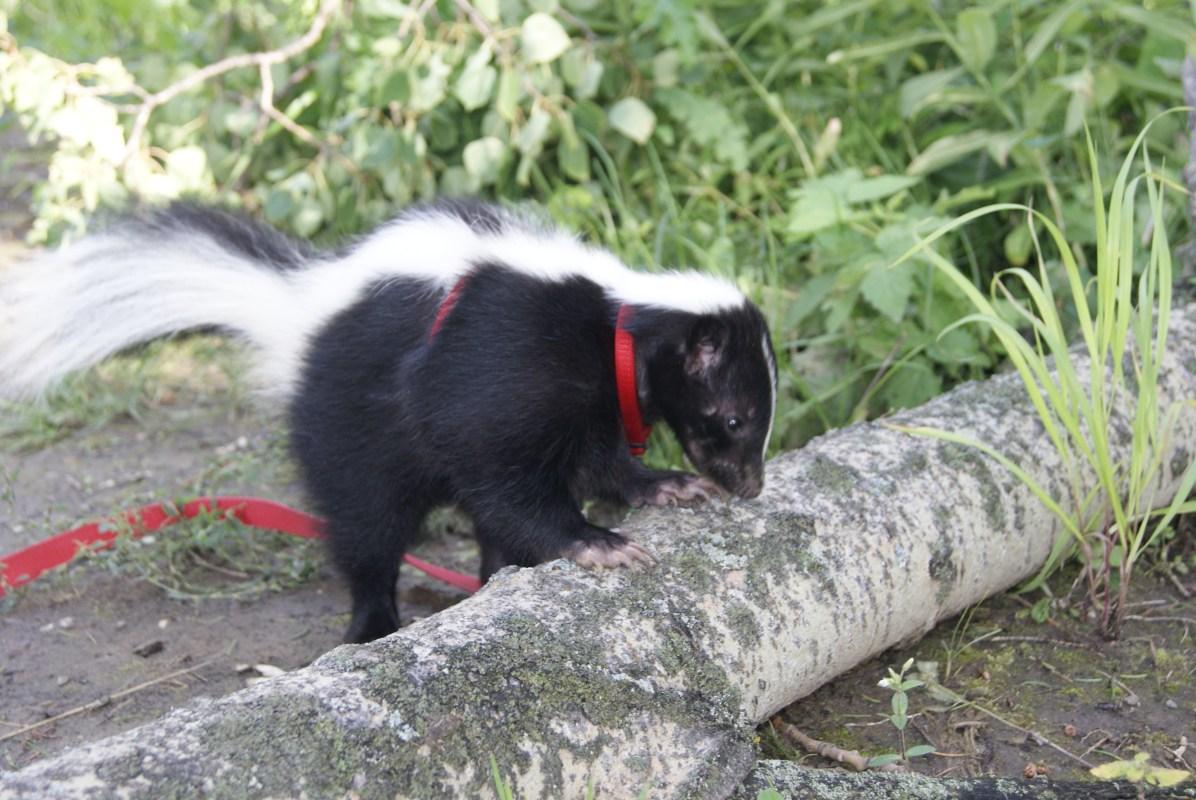 Eliot the Skunk, Fotos: ©Denise Ott