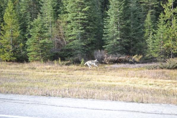 Kojote, Foto: ©Denise Ott