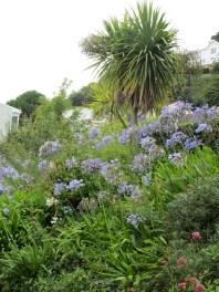 Agapanthus - Erinnerung an Madeira