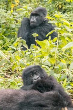 Gorilla in Rwanda - can also be found uganda congo