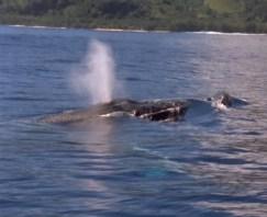 Baleia jubarte respirando em Moorea