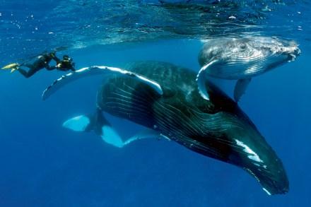 Mergulhando com as baleias. Foto de Yann Hubert