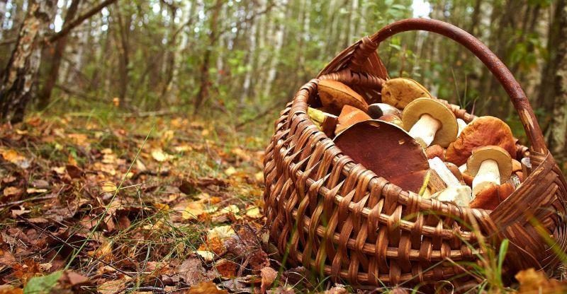 Cueillir les champignons sans abîmer la forêt - Le blog du hérisson
