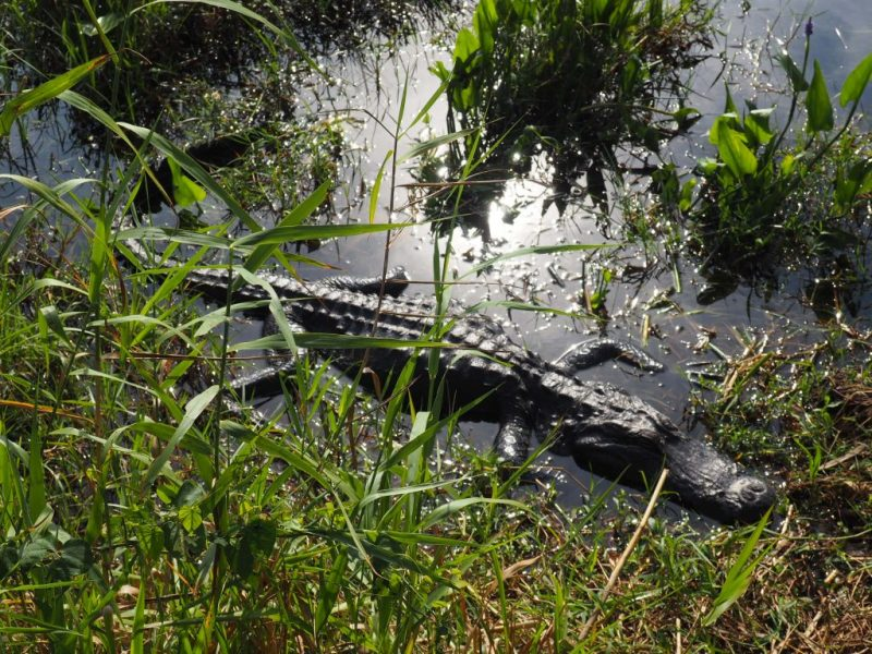 Alligator de Floride - Le blog du hérisson