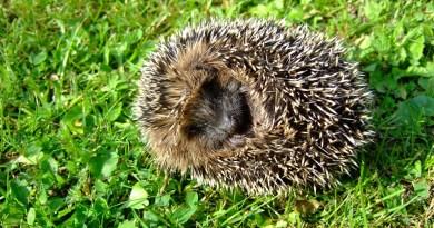 5 bonnes raisons de vouloir adopter un hérisson - Le blog du hérisson