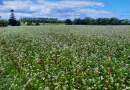 Le sarrasin, du champ à la galette - Le blog du hérisson