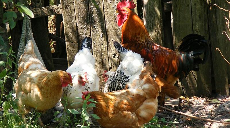 Toutes les bonnes raisons d'avoir des poules - Le blog du hérisson